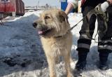 Саткинский центр адаптации бездомных животных «Открытое сердце» просит помощи в выгуле собак