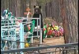 В Сатке по кладбищу на Малой Запани гулял медведь