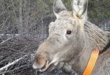 Из саткинского  парка «Зюраткуль» убежали две лосихи.