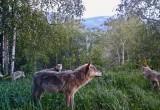 В саткинском национальном парке «Зюраткуль» стая волков попала в кадр фотоловушки